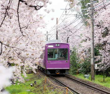 View of Kyoto local train traveling on rail tracks with flourishing cherry blossoms along the railway in Kyoto Japan.
