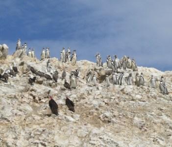 Sea birds, penguins and turkey vultures