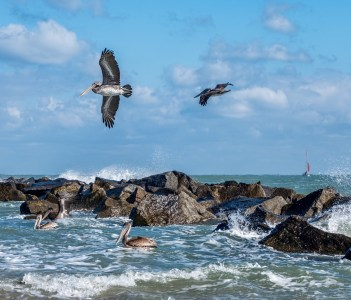 Pelicans at the Fort Pierce inlet Florida in USA