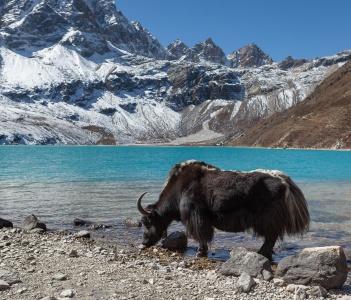 Big black Himalayan yak in Gokyo lake Nepal