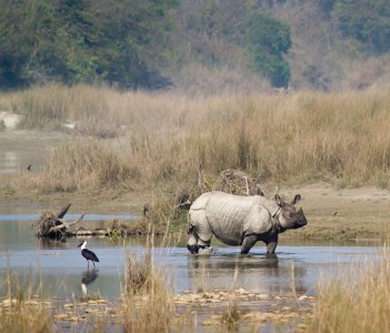 Rhinoceros Crossing the River at Bardia National Park, Nepal
