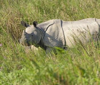 Indian Rhino in the Grasslands of Kaziranga National Park in India.