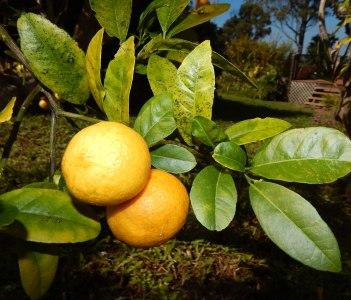 Rangpur Kona Lime