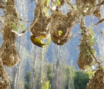 Cape Weaverbird Langebaan