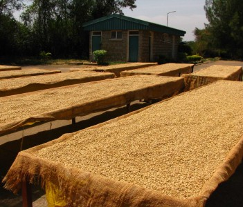 Thika Coffee Mills Drying Tables