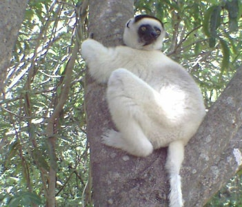 Kirindy Forest reserve (Deken sifaka ), may be find in the Tsingy National park.