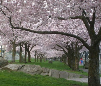 Cherry Trees Along Waterfront Park