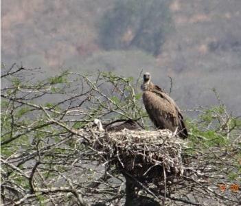 white backed vulture on nest