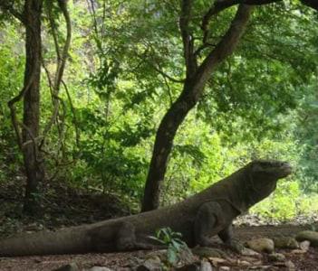 Dragon in Komodo island