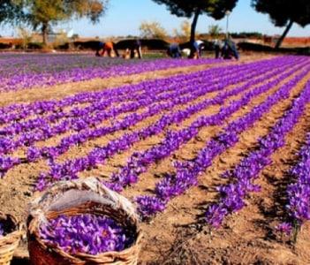 Saffron fields of Pampore
