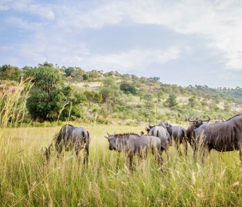 Group of Blue wildebeest standing in high grass in the Pilanesberg National Park South Africa.