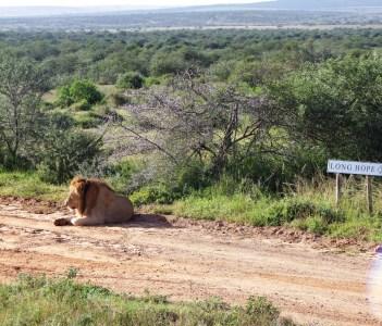 Lion Restin