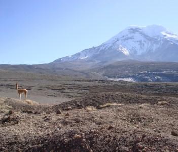 chimborazo mountain and vicuñas