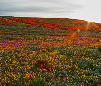 California Golden Poppies at sunrise in the high desert of southern California between Palmdale and Lancaster