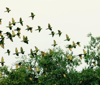 Flying Green Parakeets