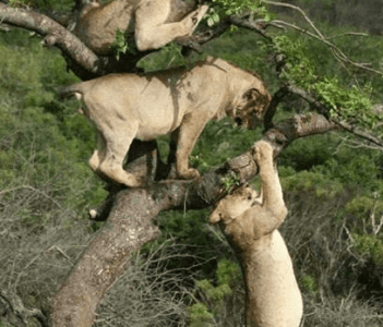 tree climping lions