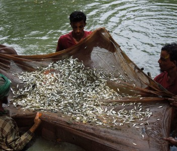 Harvesting Fish from a pond in Barisal