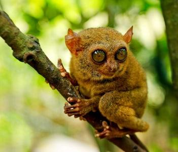 Tarsier on a tree. Bohol island Philippines