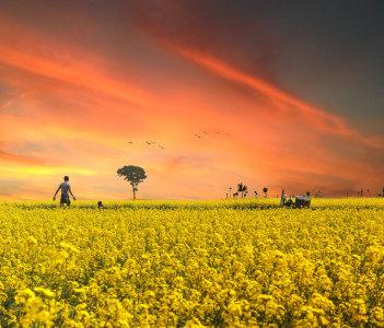 Mustard filed during sunset in Bangladesh in Satkhira
