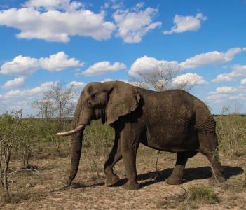 Grandpa elephant