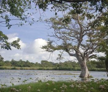 White lilly lake - Habarana