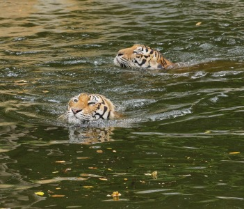 Two Bengal Tiger Swimming in the pond