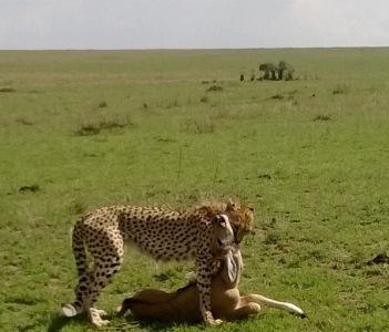 cheetah kill @ mara