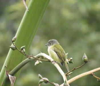 Yellow olive flycatcher