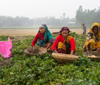 Three women were working in a potato field in Rangpur Bangladesh