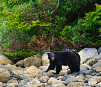 Wild Black Bears feeding on the shoreline of the Pacific Ocean Tofino, British Columbia, Canada