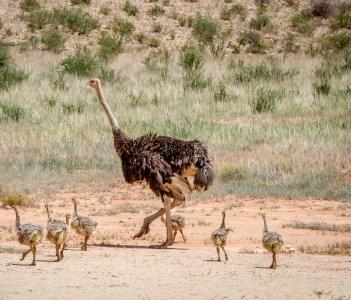 Mother Ostrich with lots of chicks in the sand in the Kalagadi Transfrontier Park South Africa.