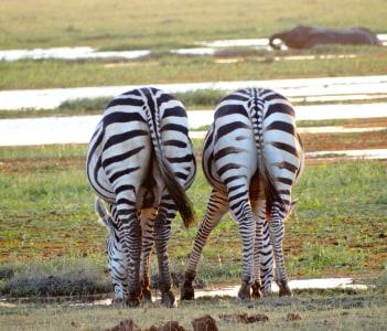 Zebras drinking water in the swamp