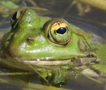 Perez Frog