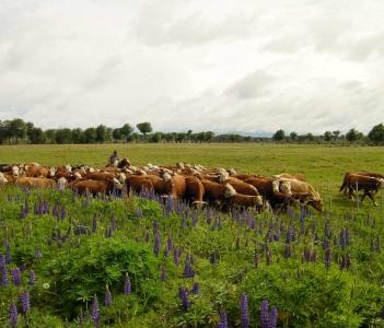 Cattle Puerto Natales