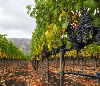 Purple grapes hang from vines in Napa Valley, California in fall