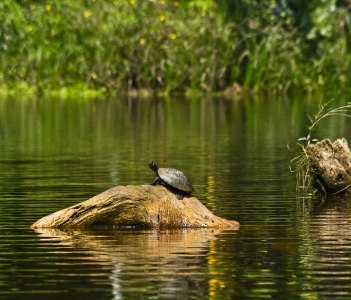 Turtles in Amazon Rainforest-Yasuni National Park