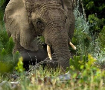 Knysna Elephant, South Africa with Walk on the Wild Side and Howard Butcher, pic by Hylton Herd
