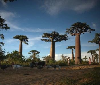 Allée des Baobabs near Morondava
