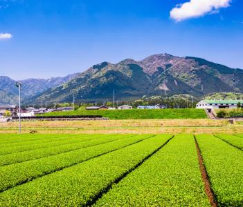 Tea plantation landscape in Yokkaichi