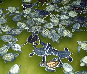 Sea Turtle Conservation at Kosgoda Sri Lanka