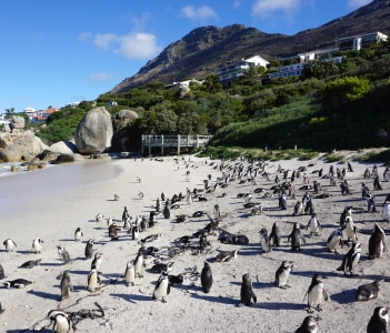 African Penguins at beach at Boulders Beach Table Mountain National Park South Africa
