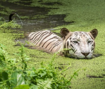 White Bengal Tiger half submerged in marshy water at Sunderbans National Park