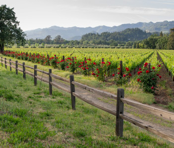 Rustic fence & red roses frame a vineyard in California's wine city in Calistogia USA