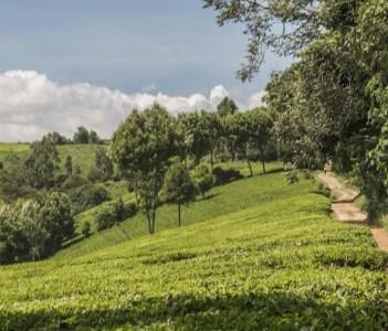 Kiambethu Tea Farm Kenya