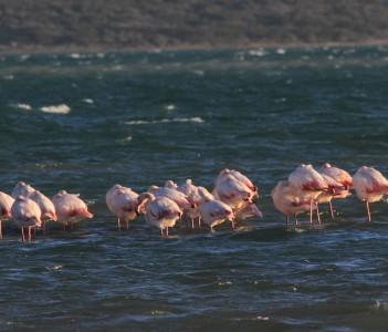 Flamingos at Langebaan Lagoon