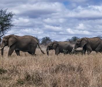 Wild african elephants, Taita Hills National Park, Kenya