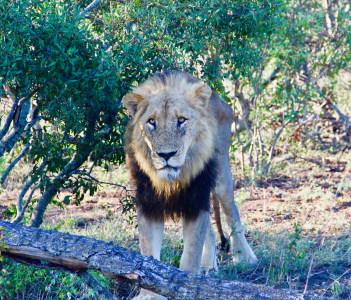 Lions@Kruger