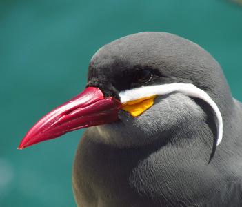 Inka tern
