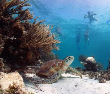 Green sea turtle Chelonia mydas Akumal Bay Riviera Maya Mexico