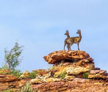 Klipspringer in Mapungubwe National Park South Africa